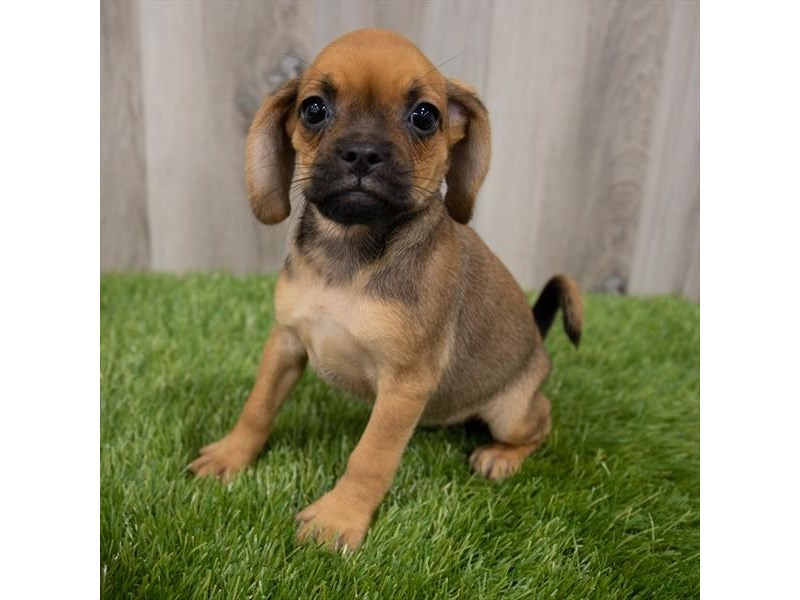 Puggle-Female-Fawn-3247659-My Next Puppy