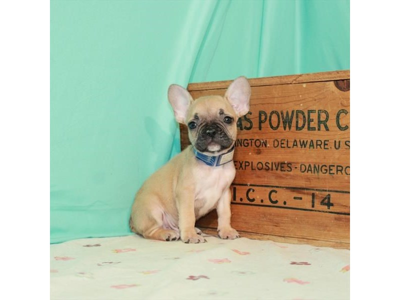 French Bulldog-Male-Fawn-3247662-My Next Puppy
