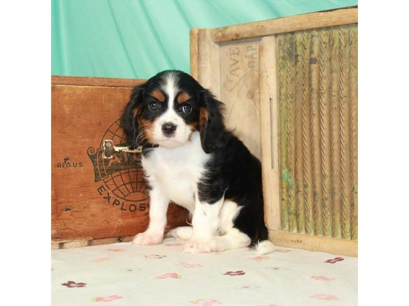 Cavalier King Charles Spaniel-Male-Black White / Tan-3247663-My Next Puppy