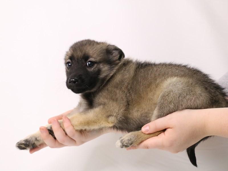 Norwegian Elkhound-Female-Gray / Black-3247719-My Next Puppy