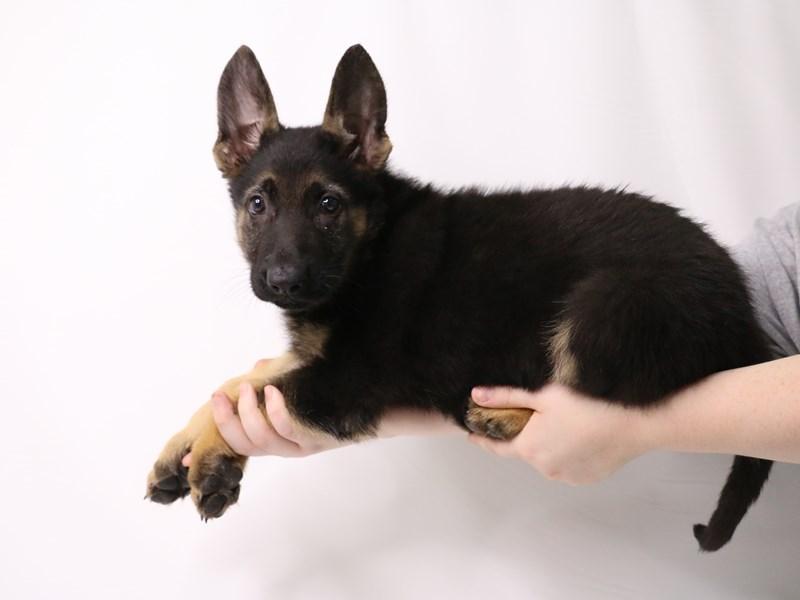 German Shepherd-Male-Black / Tan-3252441-My Next Puppy