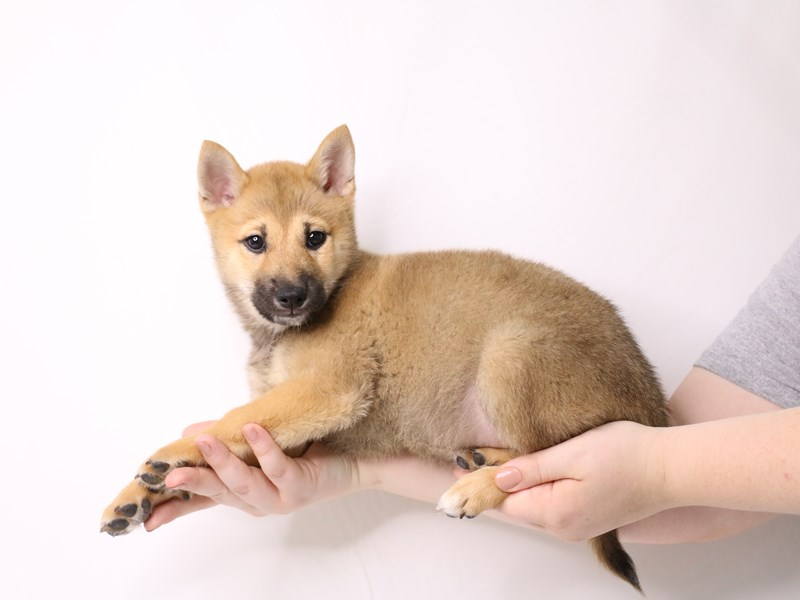 Shiba Inu-Male-Red Sesame-3259742-My Next Puppy