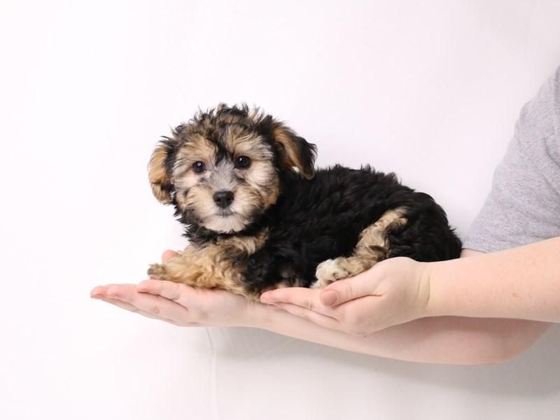 Yorkiepoo-Male-Blue / Tan-3259745-My Next Puppy