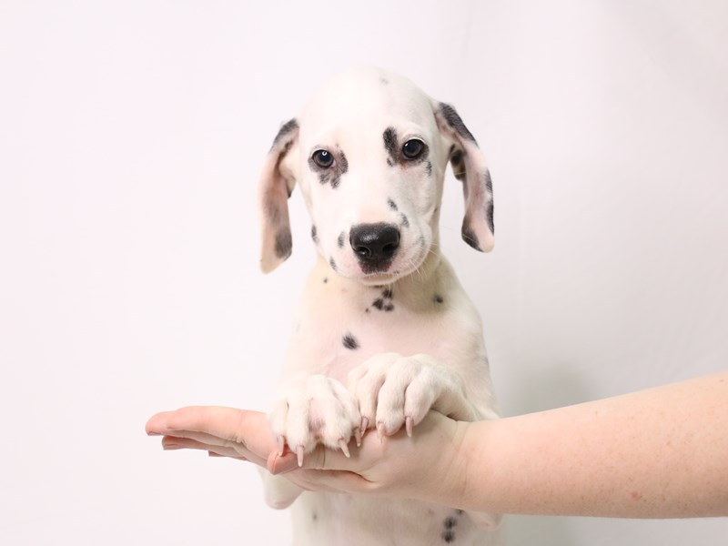 Dalmatian-Male-White / Black-3259752-My Next Puppy