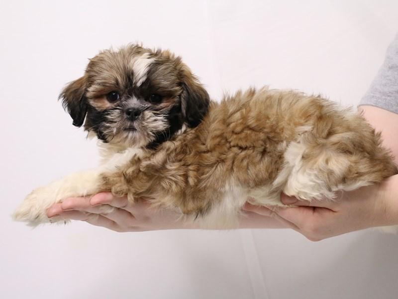 Shih Tzu-Female-Gold and White-3257911-My Next Puppy