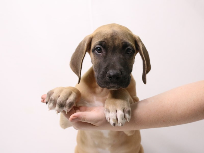 Great Dane-Male-Fawn-3257930-My Next Puppy