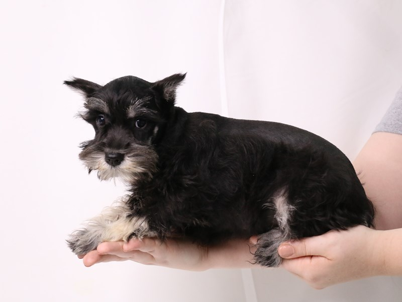 Miniature Schnauzer-Female-Black and Silver-3257979-My Next Puppy