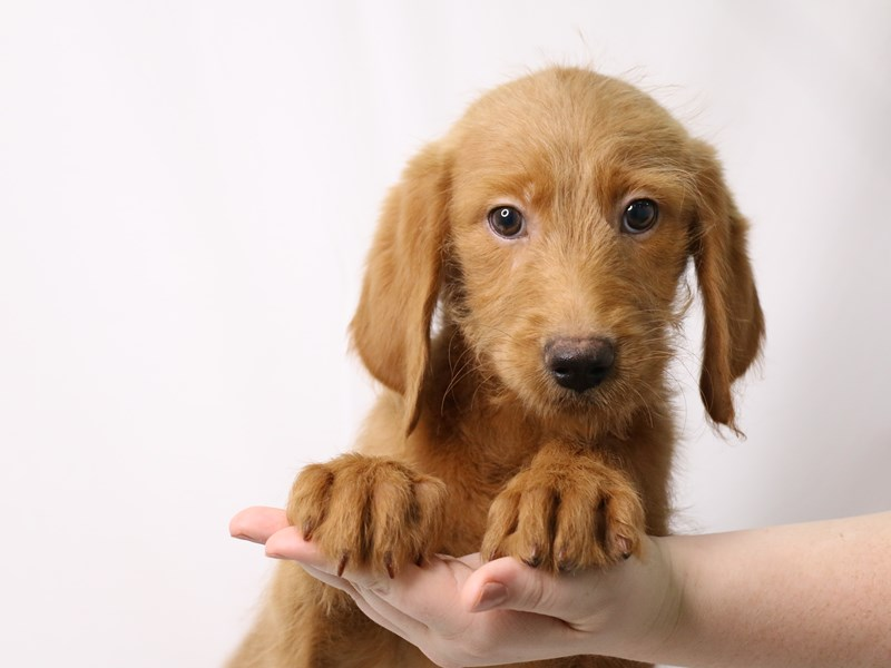 Labradoodle-Female-Yellow-3259727-My Next Puppy