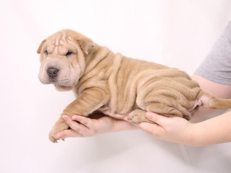 Chinese Shar-Pei-Female--3259730-My Next Puppy