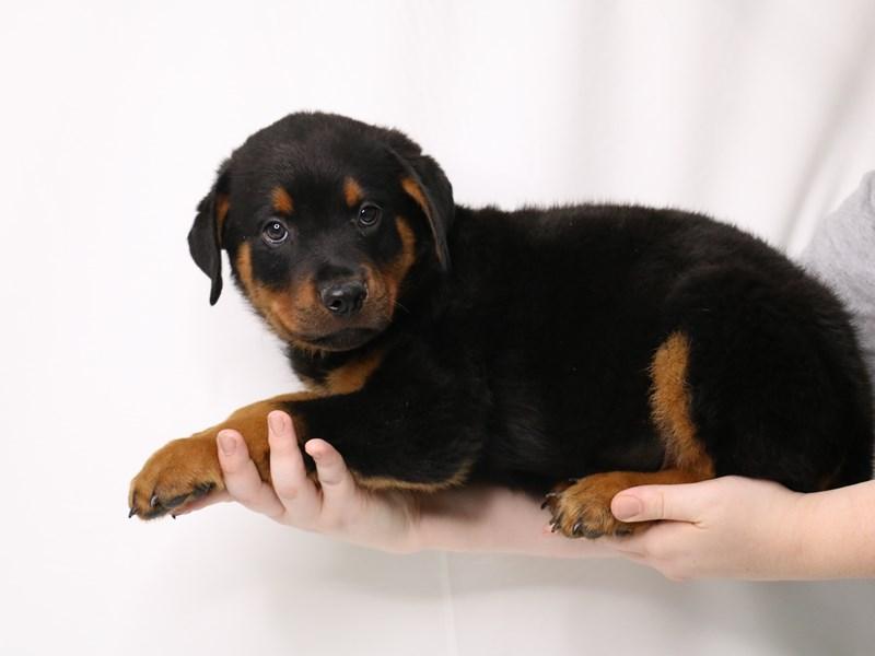 Rottweiler-Male-Black / Mahogany-3259735-My Next Puppy