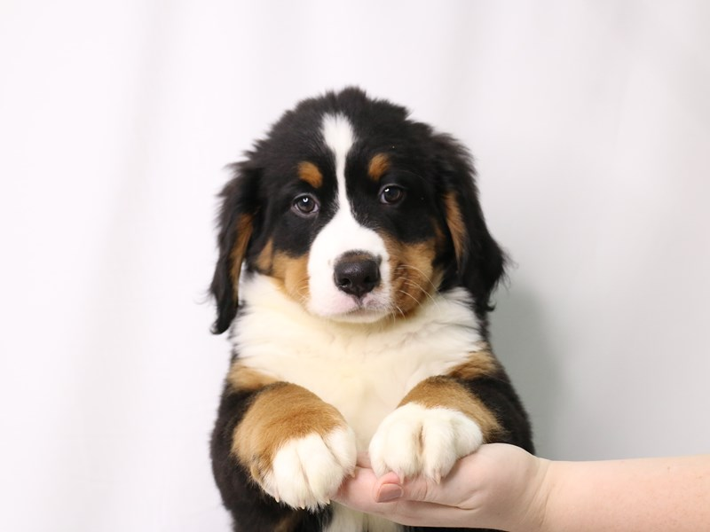 Bernese Mountain Dog-Male-Tri-Colored-3260222-My Next Puppy