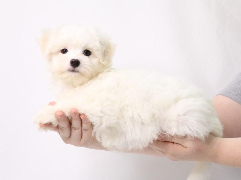 Coton De Tulear-Female-White-3269606-My Next Puppy