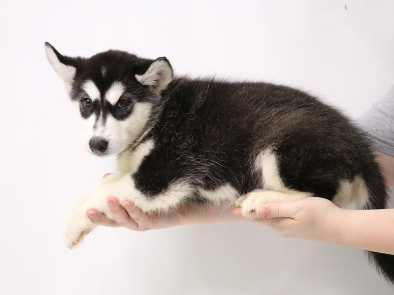 Alaskan Malamute-Female-Black / White-3269609-My Next Puppy