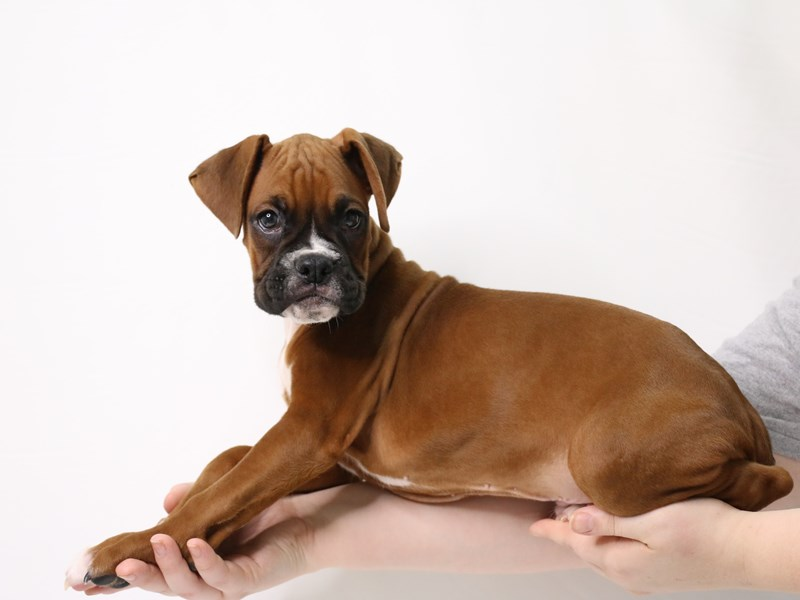 Boxer-Male-Fawn-3269307-My Next Puppy