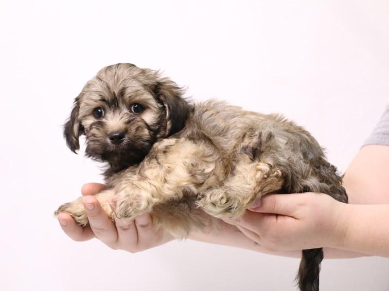 Havanese-Male-Gold-3269309-My Next Puppy