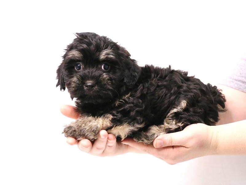 Havanese-Male-Black / Tan-3269310-My Next Puppy