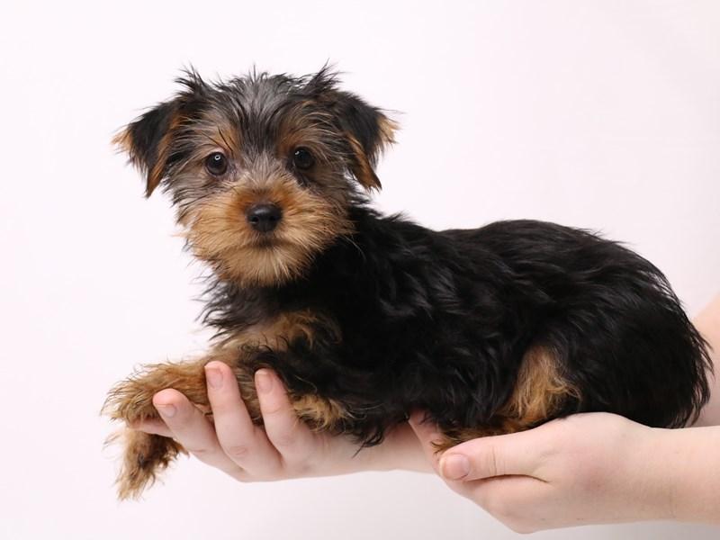 Yorkshire Terrier-Male-Black / Tan-3269315-My Next Puppy