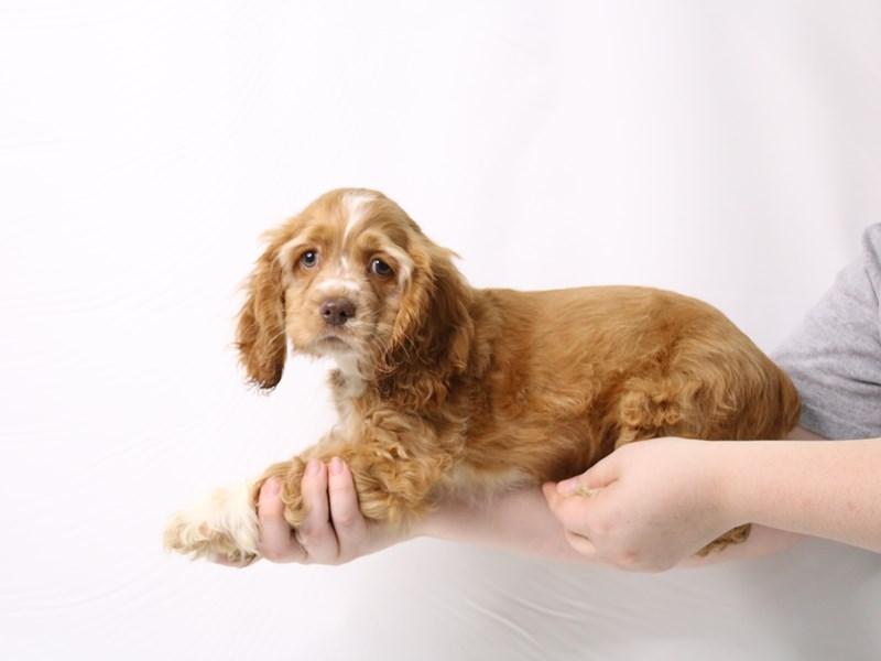 Cocker Spaniel-Male-Red-3275732-My Next Puppy