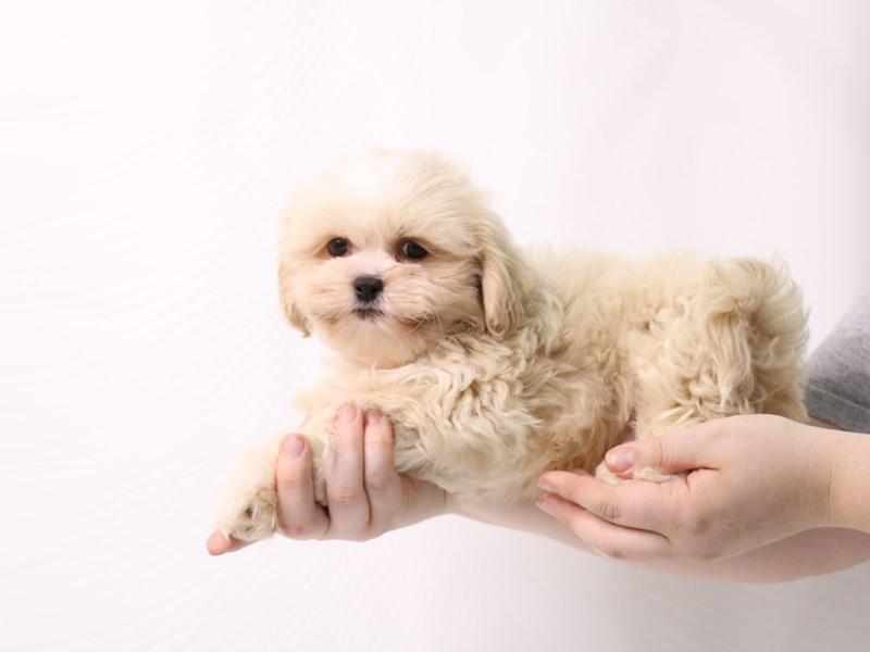 Teddy Bear-Male-Red-3277422-My Next Puppy