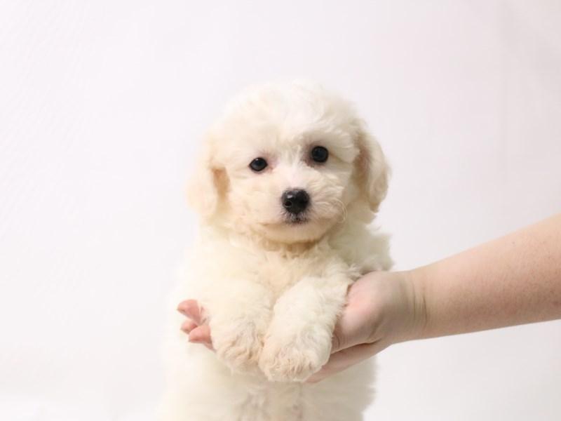 Bichon Frise-Female-White-3277433-My Next Puppy