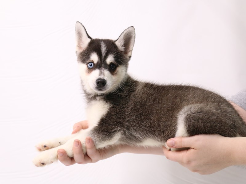 Alaskan Klee Kai-Male-Black / White-3275747-My Next Puppy