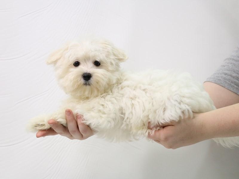 Maltese-Male-White-3276535-My Next Puppy