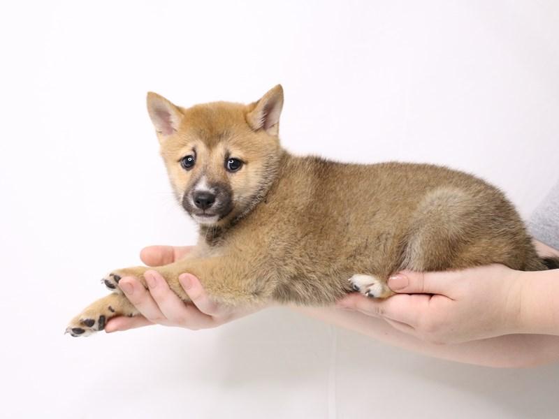 Shiba Inu-Female-Red Sesame-3259741-My Next Puppy
