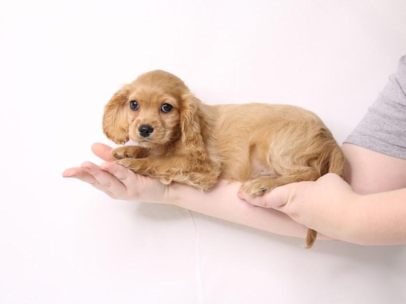 Cockalier-Female-Ruby-3259750-My Next Puppy