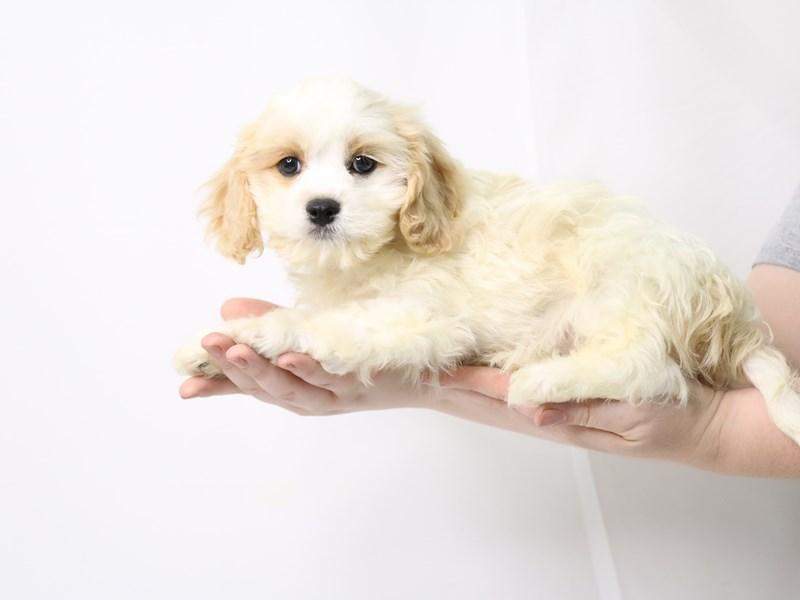 Cavachon-Male-Cream / White-3259837-My Next Puppy