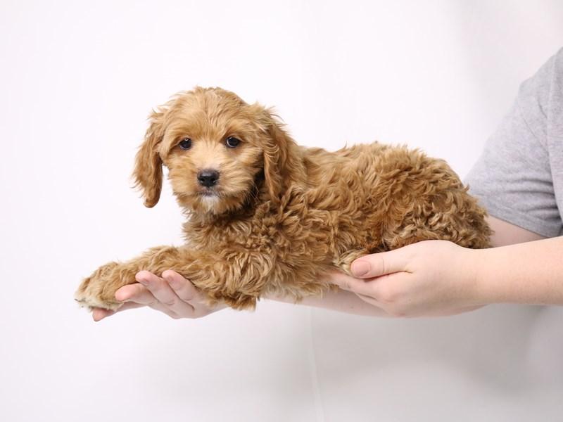 Cockapoo-Female-Red-3260224-My Next Puppy