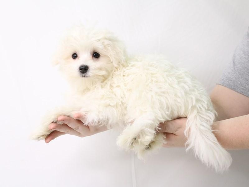 Maltese-Male-White-3263219-My Next Puppy