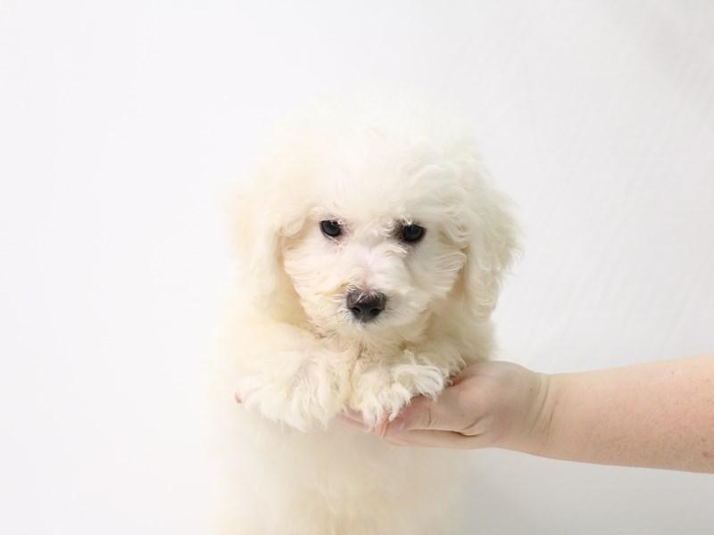 Bichon Frise-Male-White-3269319-My Next Puppy