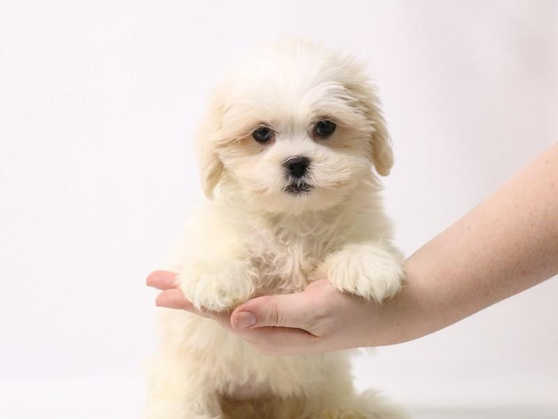 Teddy Bear-Female-Cream-3275730-My Next Puppy