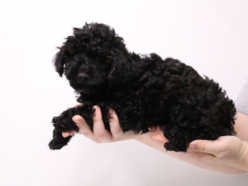 Miniature Poodle-Male-Silver-3276467-My Next Puppy