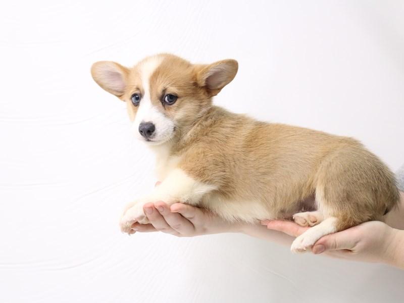 Pembroke Welsh Corgi-Male-Sable / White-3277428-My Next Puppy