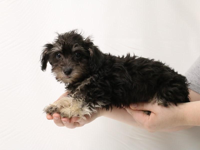 Schnoodle-Female-Black / Cream-3275739-My Next Puppy