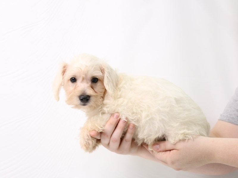 Schnoodle-Male-White-3275741-My Next Puppy