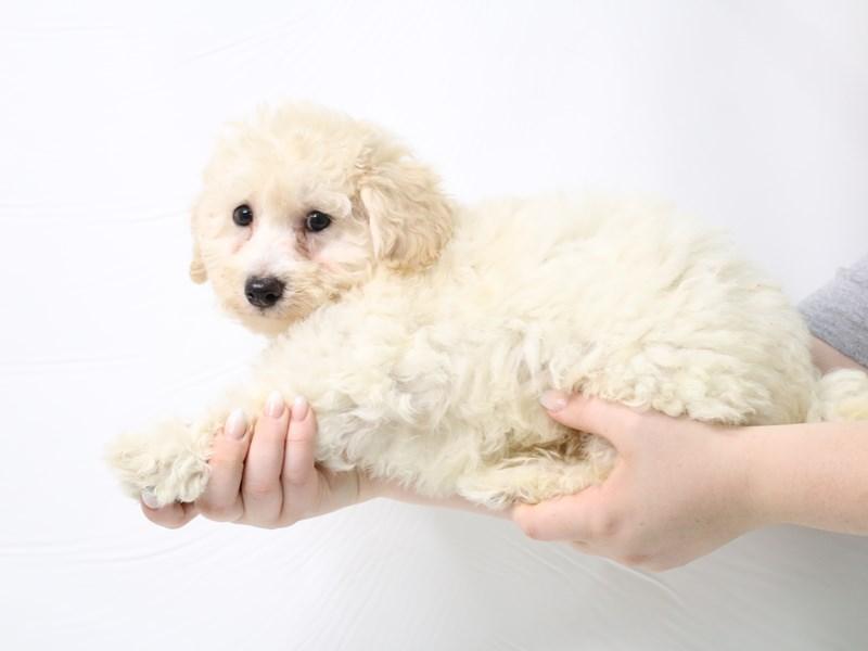 Teddy Bear-Male-Cream-3285618-My Next Puppy