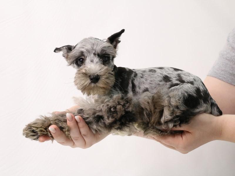 Miniature Schnauzer-Male-Blue Merle-3285620-My Next Puppy