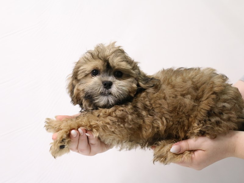 Shihpoo-Male-Gold-3285624-My Next Puppy