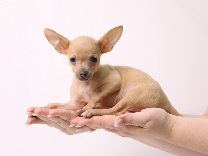 Chihuahua-Male-Blue Fawn-3285625-My Next Puppy