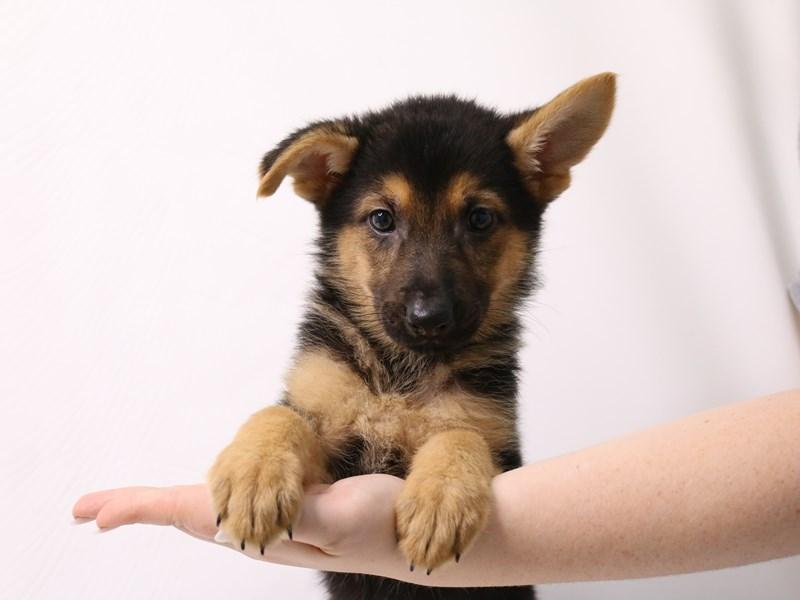 German Shepherd-Female-Black / Tan-3285841-My Next Puppy