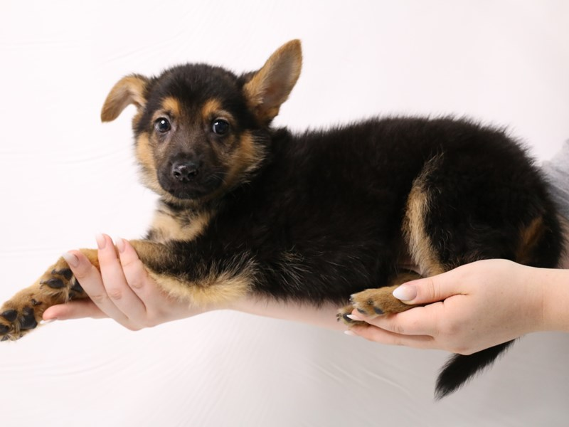 German Shepherd-Male-Black / Tan-3285843-My Next Puppy