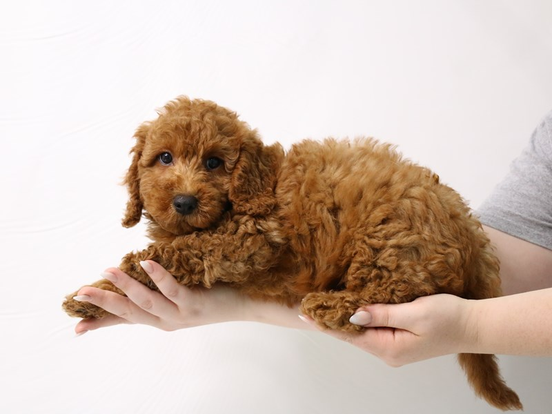 2nd Generation Mini Goldendoodle-Male-Red-3285608-My Next Puppy