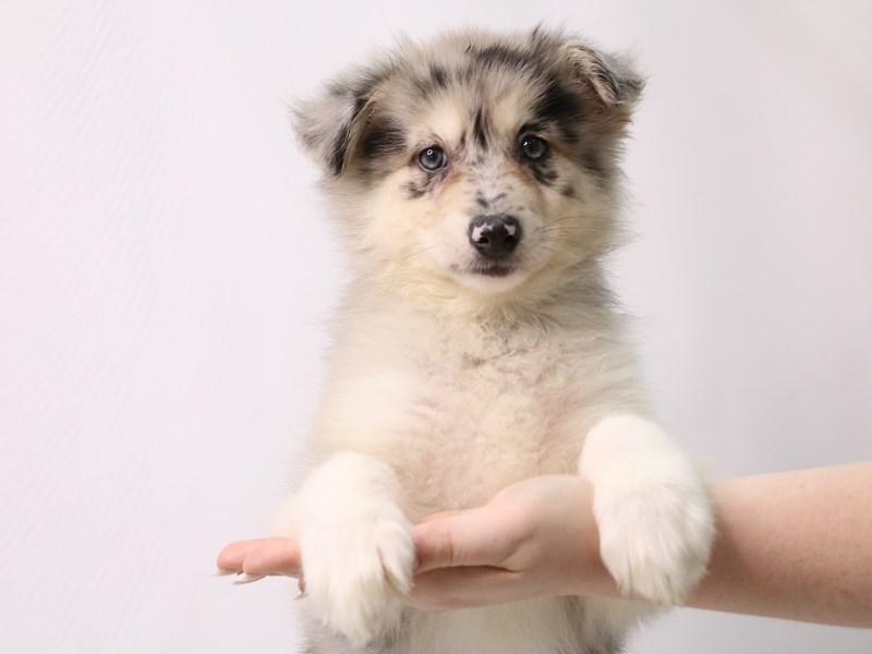 Pomsky-Female-Blue Merle-3296156-My Next Puppy