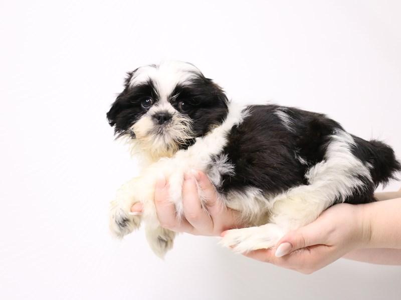 Shih Tzu-Male-Black / White-3296160-My Next Puppy