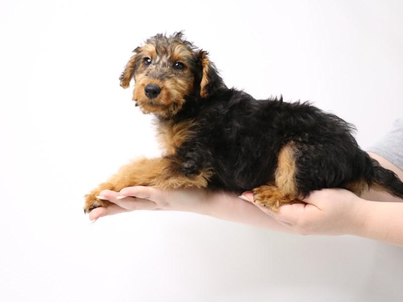 Welsh Terrier-Female-Black / Tan-3296161-My Next Puppy