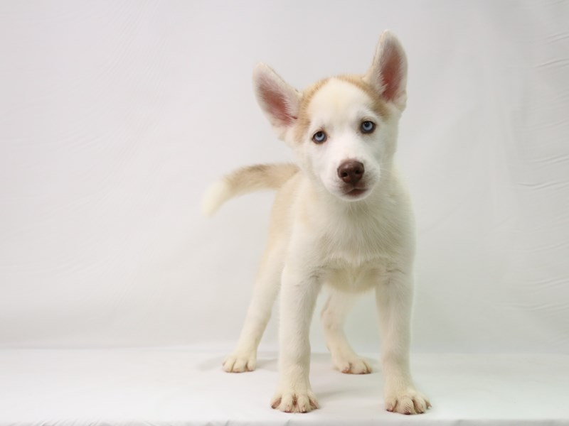 Siberian Husky-Male-Red and White-3295222-My Next Puppy