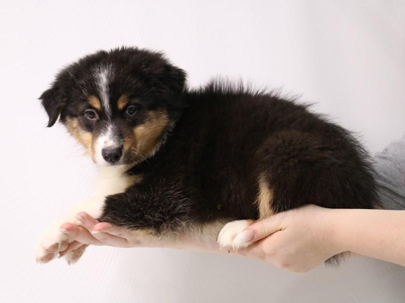 Australian Shepherd-Male-Black and White-3295273-My Next Puppy