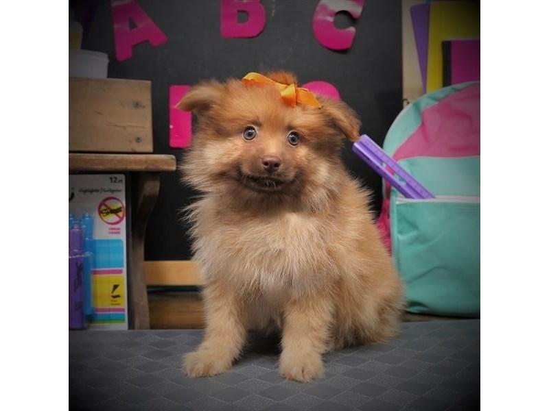 Pomeranian-Female-Orange-3305852-My Next Puppy